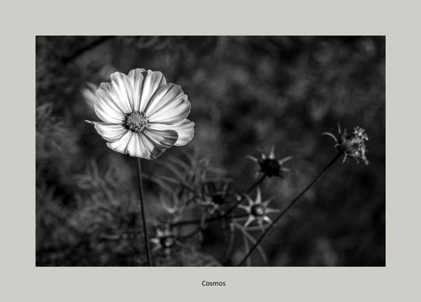 Cosmos by FroggattM