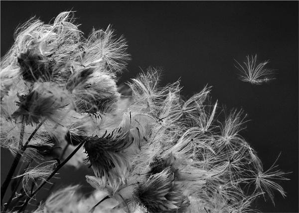 Windblown 2 by MalcolmM