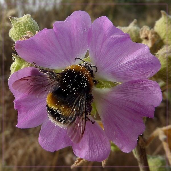 pollen collector by CarolG