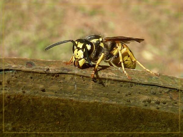thirsty wasps by CarolG