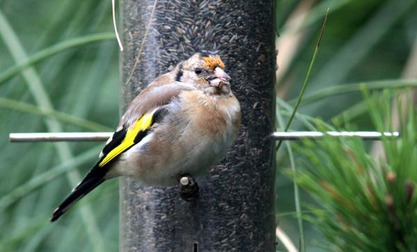 Goldfinch by oldgreyheron