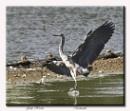 The Grey Heron by Maiwand