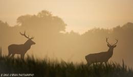 Red Deer at Sunrise.