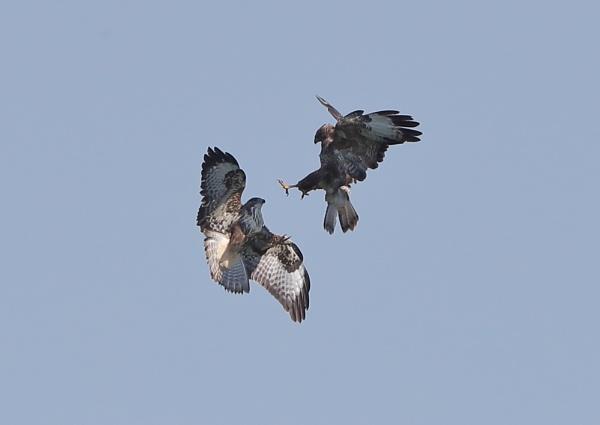 Buzzard Clash by NeilSchofield