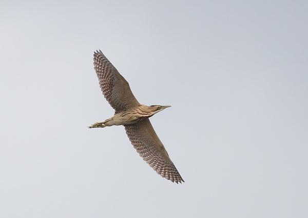 High Flying Bittern by NeilSchofield