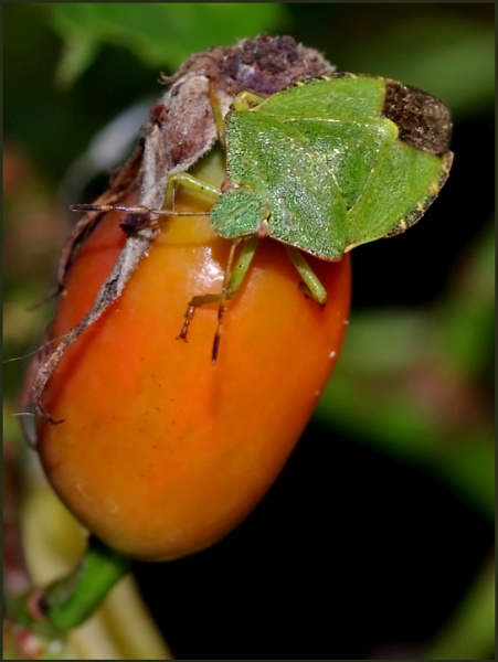 Green Shield Bug on Rosa canina. by Badgerfred
