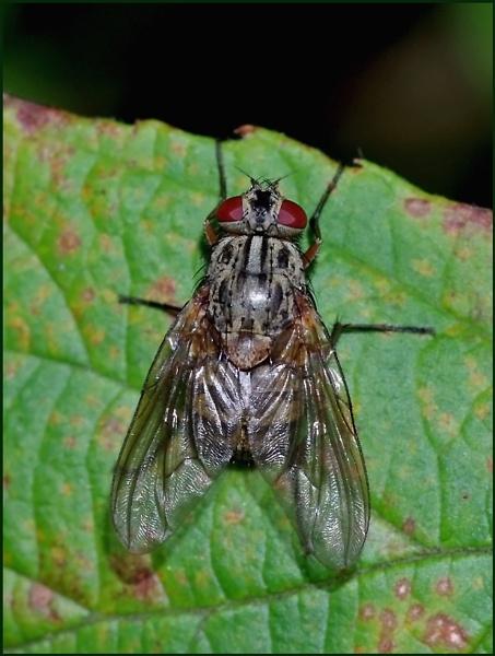 Flesh Fly-Sarcophaga carnaria. by Badgerfred