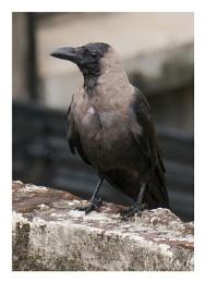 Cute Crow