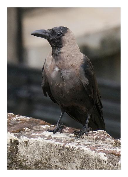 Cute Crow by prabhusinha