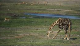 Giraffe eatting grass