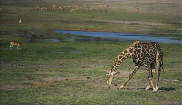 Giraffe eatting grass by ugly
