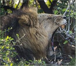 Male Lion Yawn
