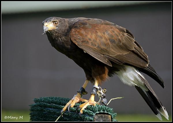 Falcon by marshfam19