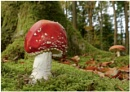"""'Fly Agaric"""" by RonnieAG"""