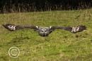Great Grey Owl c