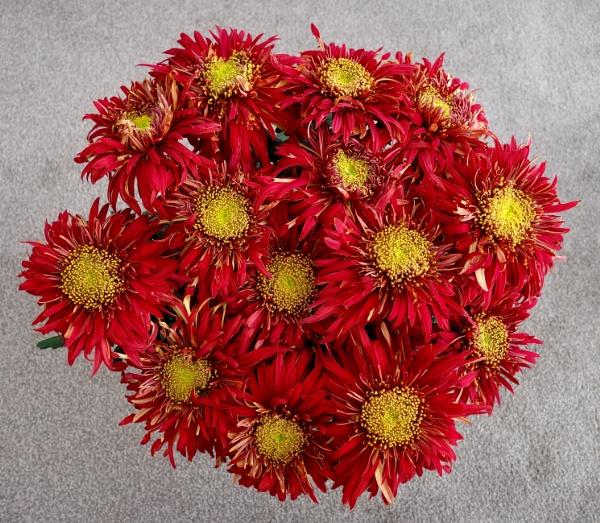 Chrysanthemum, Raymond Mounsey. by raywalker