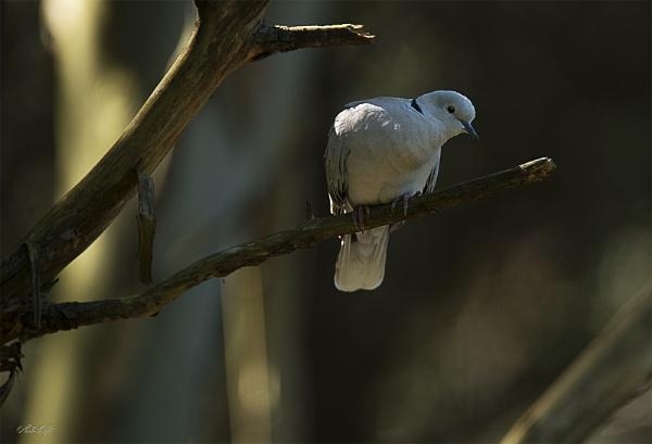 Barbary Dove (#2302)