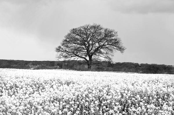 Field of Rapeseed, Brassica napus, Surrey, UK by jon07wilson