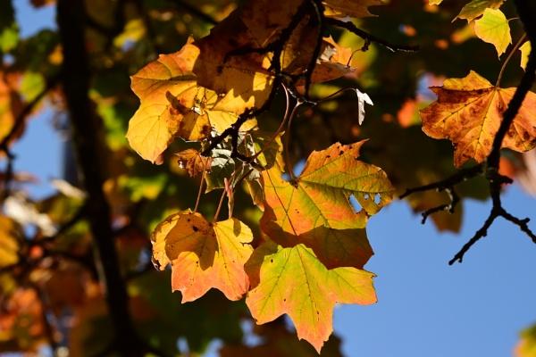 amber Sunlitt leaves by ShaunsPics