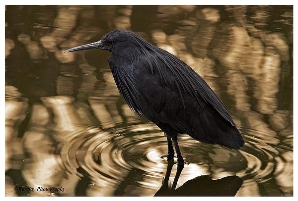 Black Egret by fatfranksfolley