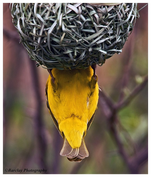 The other end of a Masked Weaver by fatfranksfolley