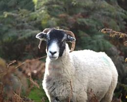 Dartmoor ram (2)