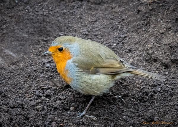 Robin. by kuvailija