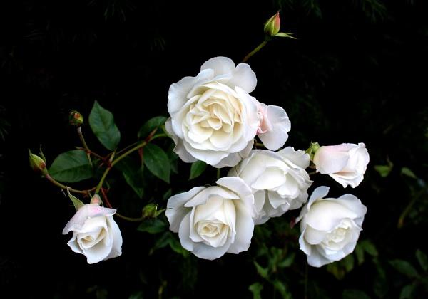 Roses by nanpantanman