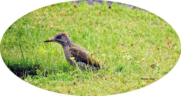 A Rare visitor to our garden. by mrcoradour