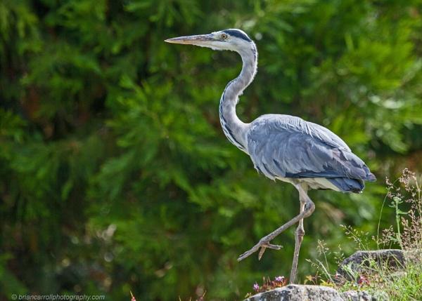Grey Heron by brian17302