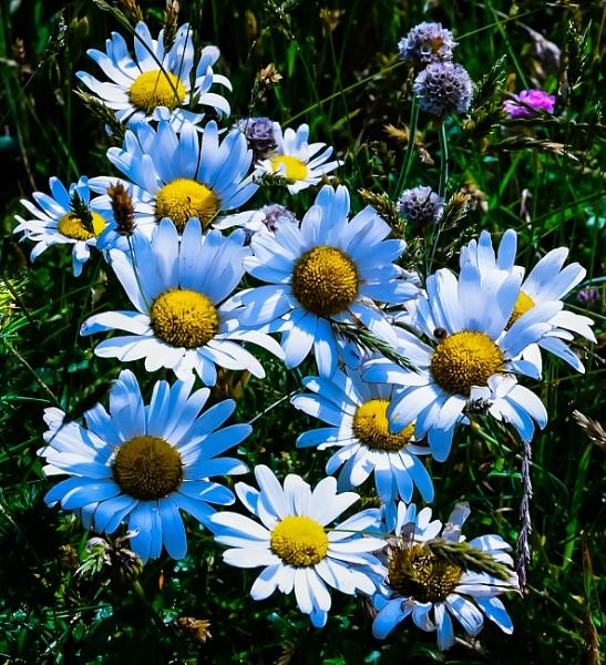 Oxeye Daisy 3 by Nikonuser1