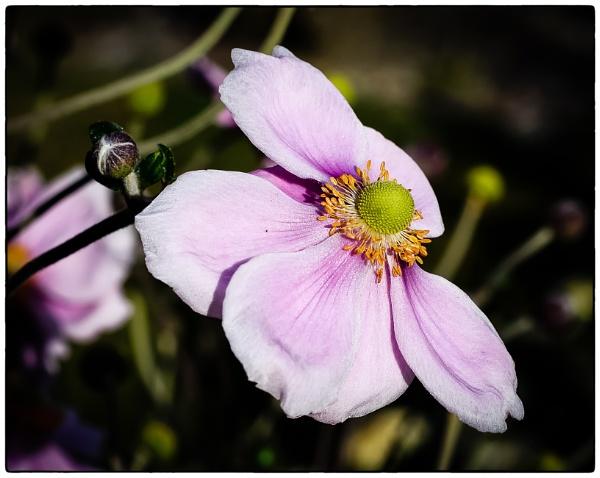Japenese Anemone by Nikonuser1