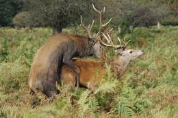 Deer in Bushey Park Kingston Surrey
