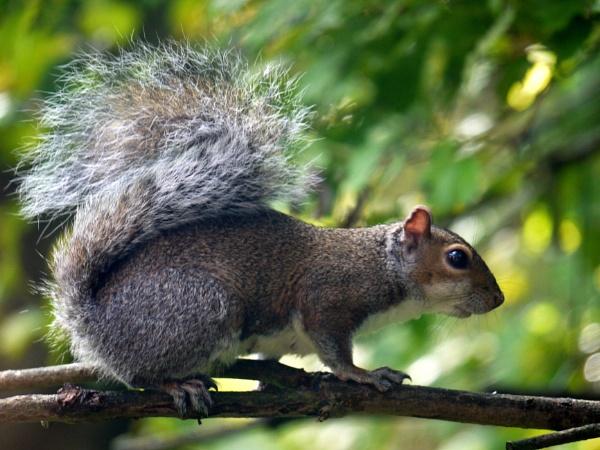Grey squirrel by DerekHollis