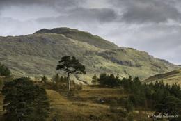 Lonesome Pine (Scots)...
