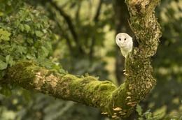 Marvin the Barn Owl