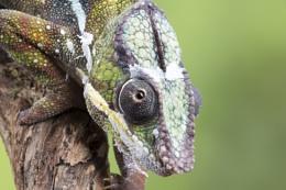 Pantha Chameleon