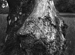 Photo : Silver Birch?