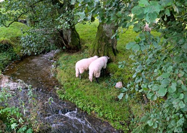 Shy sheep by BillRookery