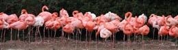 Flaming Flamingoes