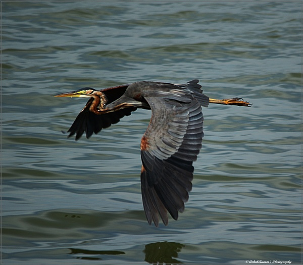 Purple Heron in flight by ashokynk