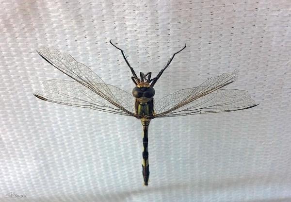 Dragonfly by SHR