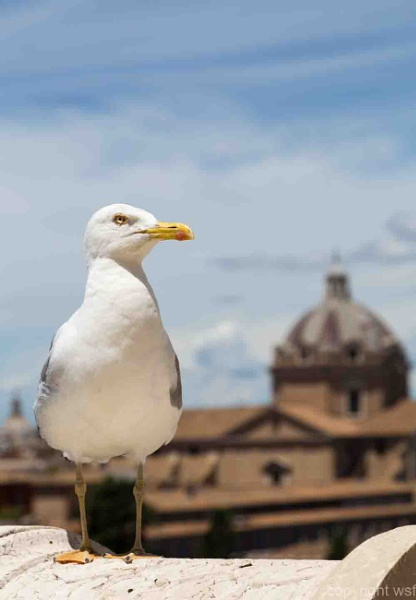 Seagull in the background Rome and blue sky