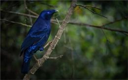 Blue Satin Bower Bird