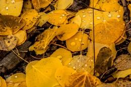 Drops on Aspen Leaves
