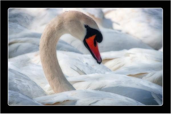 Mute Swan by dven