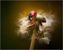 Ladybird - Dandelion. by bricurtis