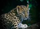 Amur Leopard Cub. by martin174