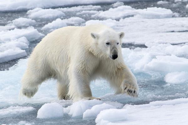 Polar Bear 3 by katep1