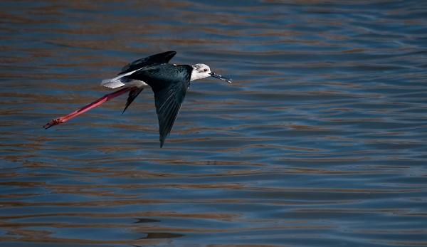 Black winged stilt. by Zydeco_Joe